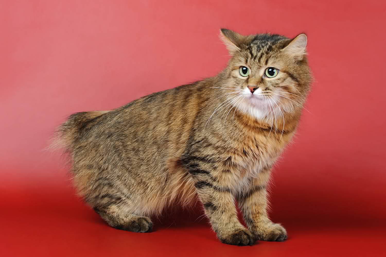 Kurilian-bobtail-cats_4.jpg