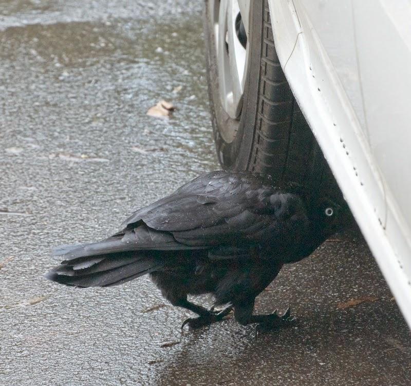 Australian Raven (Corvus coronoides)