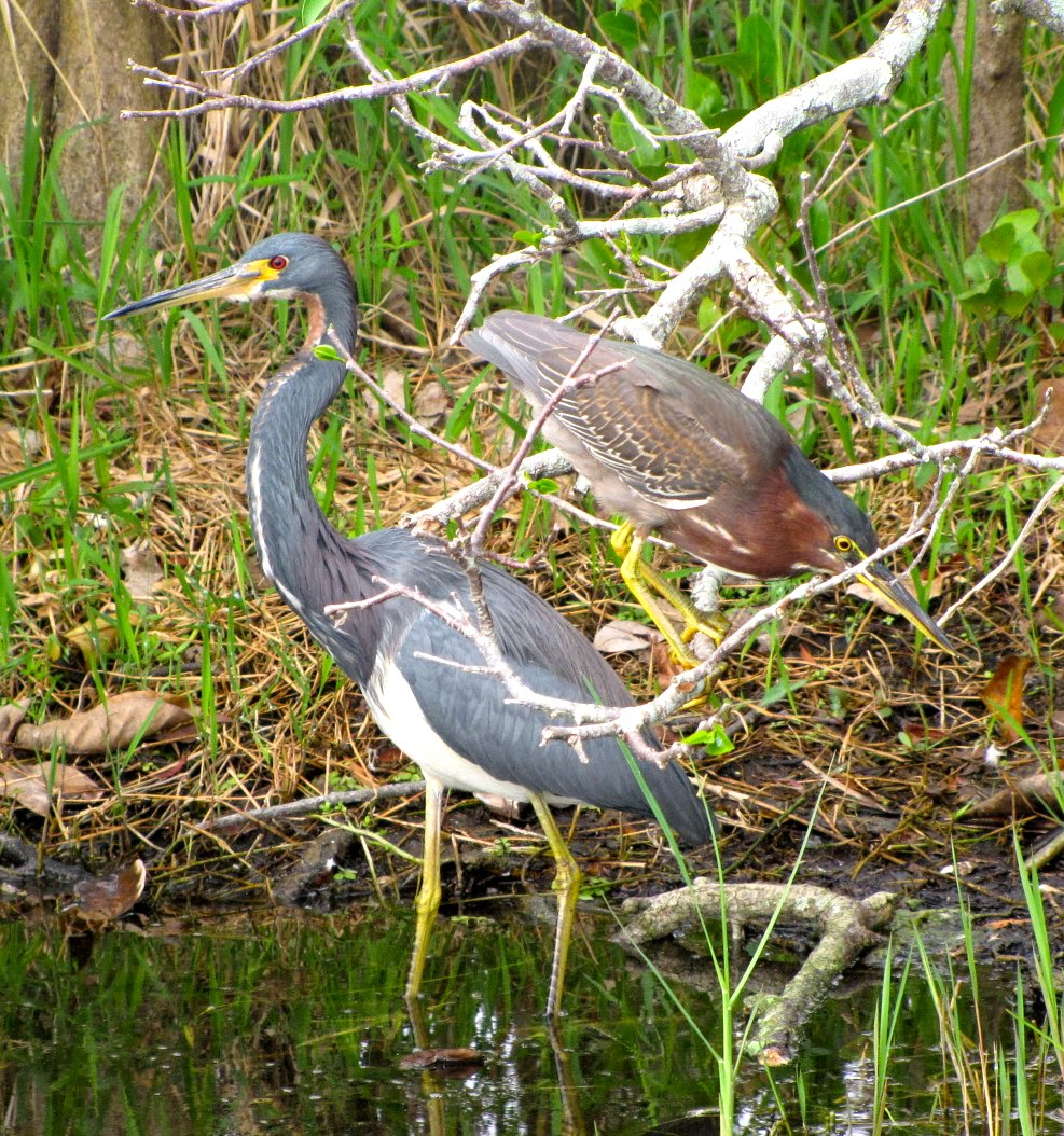 Tri Colored and Little Green Heron, Shark Valley, Everglades National Park