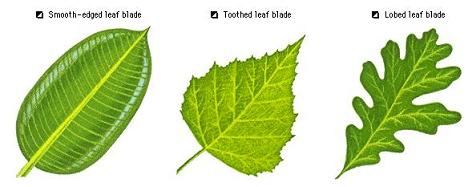 Types Of Leaves For Kids