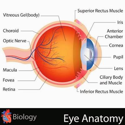Penyebab Penglihatan Spider Web (Eye Floaters)