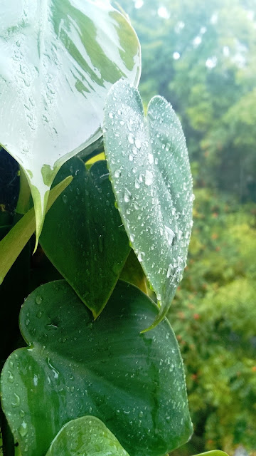Raindrop, showers, Pune, money plant
