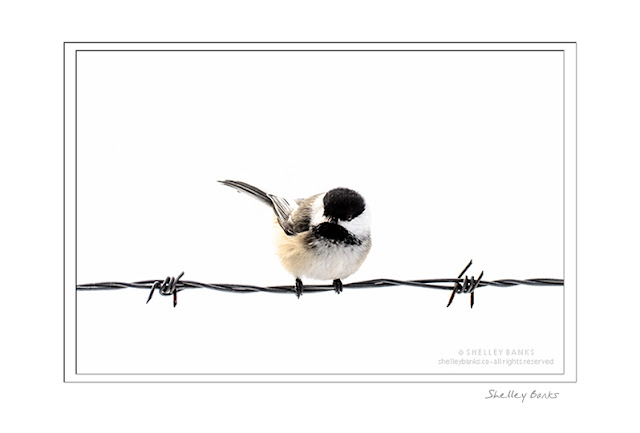 Chickadee perched on barbed wire © SB   Copyright Shelley Banks, all rights reserved.