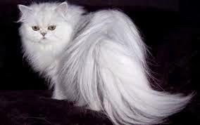 Cara Mengatasi kerontokan Bulu Kucing