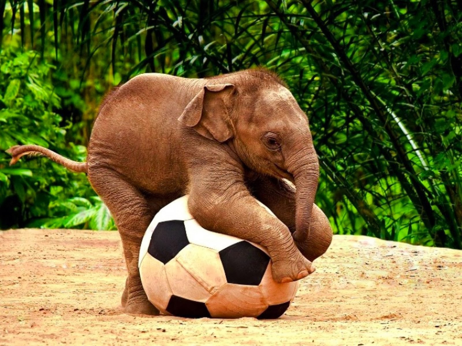 Cuidemos a los animales los elefante bebe - Fotos de elefantes bebes ...