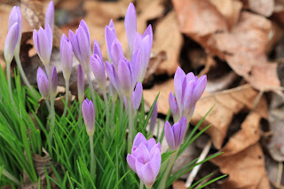 Crocus and brown leaves