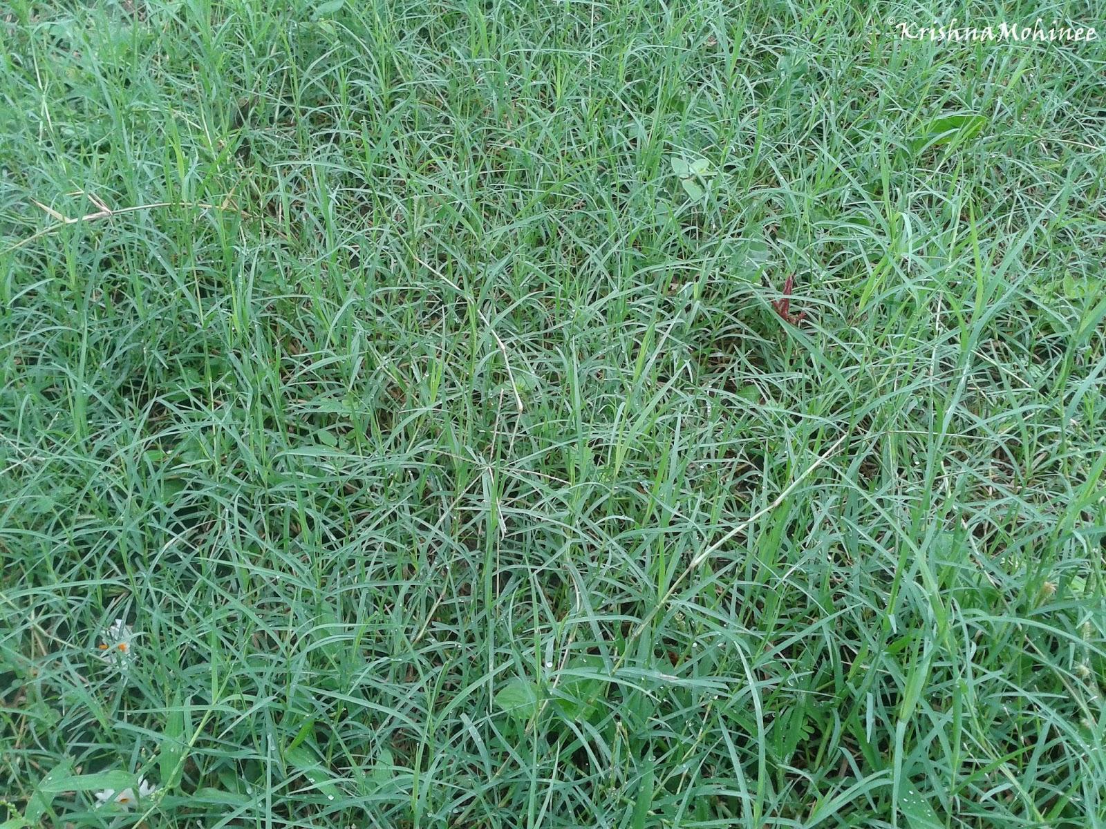 Image: Durva Grass