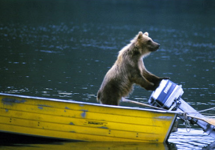 funny picture wild bear on a boat