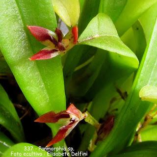 Panmorphia sp. Anathallis sp.