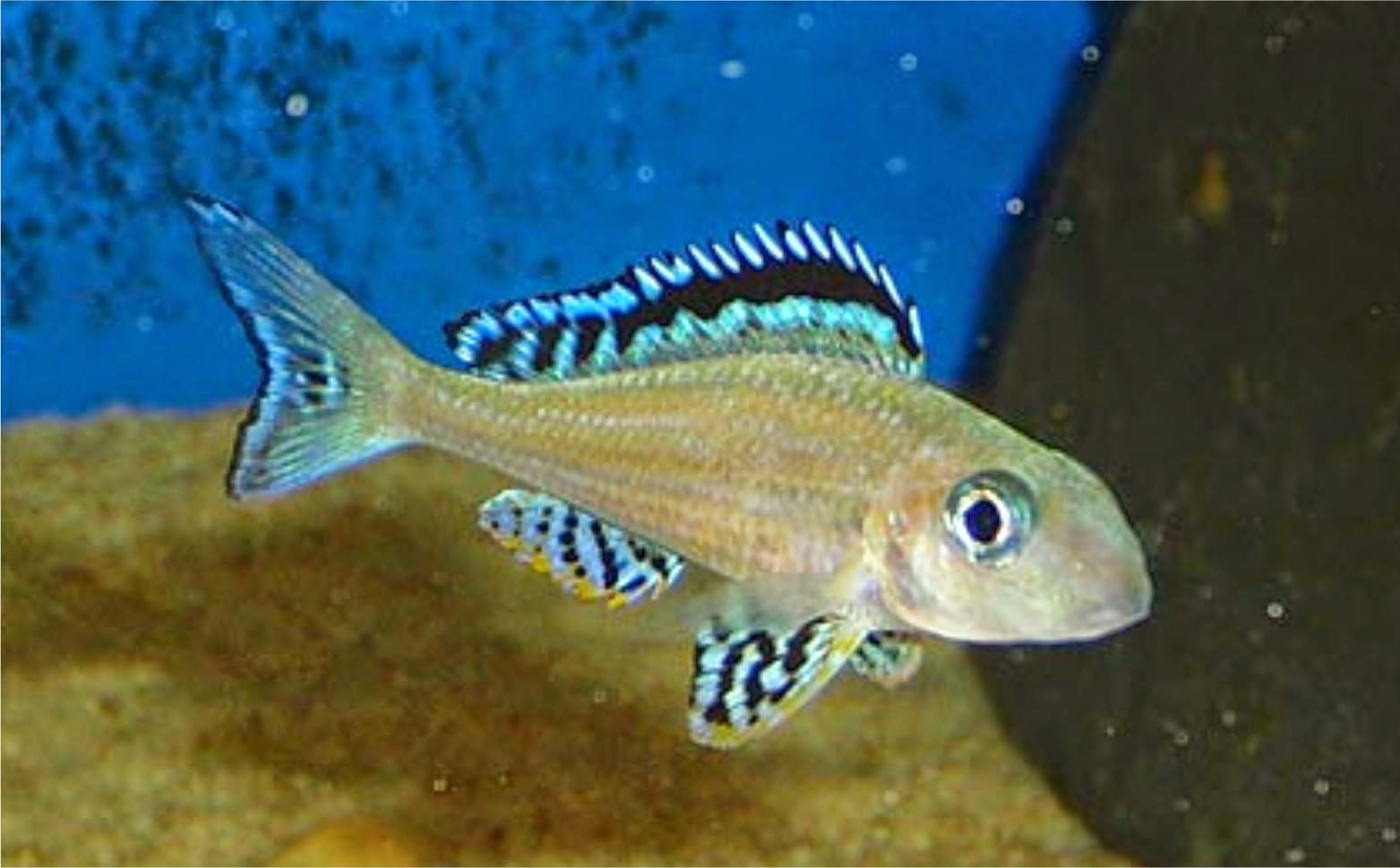 Welcome to aquarium pictures blog fish data tanganyikan for Lake tanganyika fish