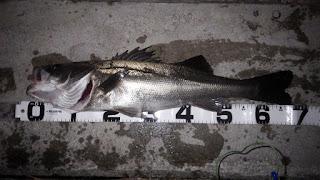 シーバス 湾奥 サイレントアサシン129F