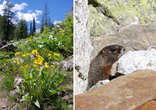 Grand Teton National Park Marmot Wildlife