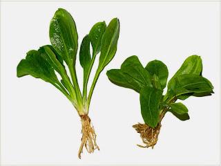 gambar-Echinodorus-Parviflorus-black-Amazon-tanaman-aquascape-rosette
