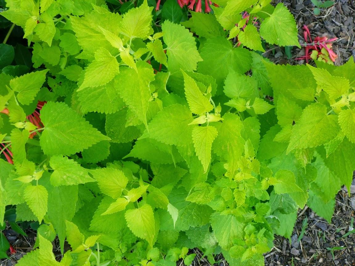 "Agastache foeniculum ""Golden Jubilee"" foliage"