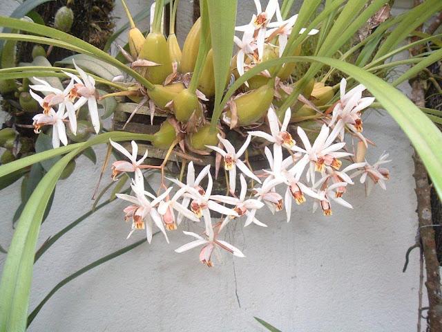 http://4.bp.blogspot.com/-GU1J_d-PYfo/Tlqddu1WEdI/AAAAAAAAADw/nMVKWwfyRpI/s1600/Coelogyne_graminifolia.jpg