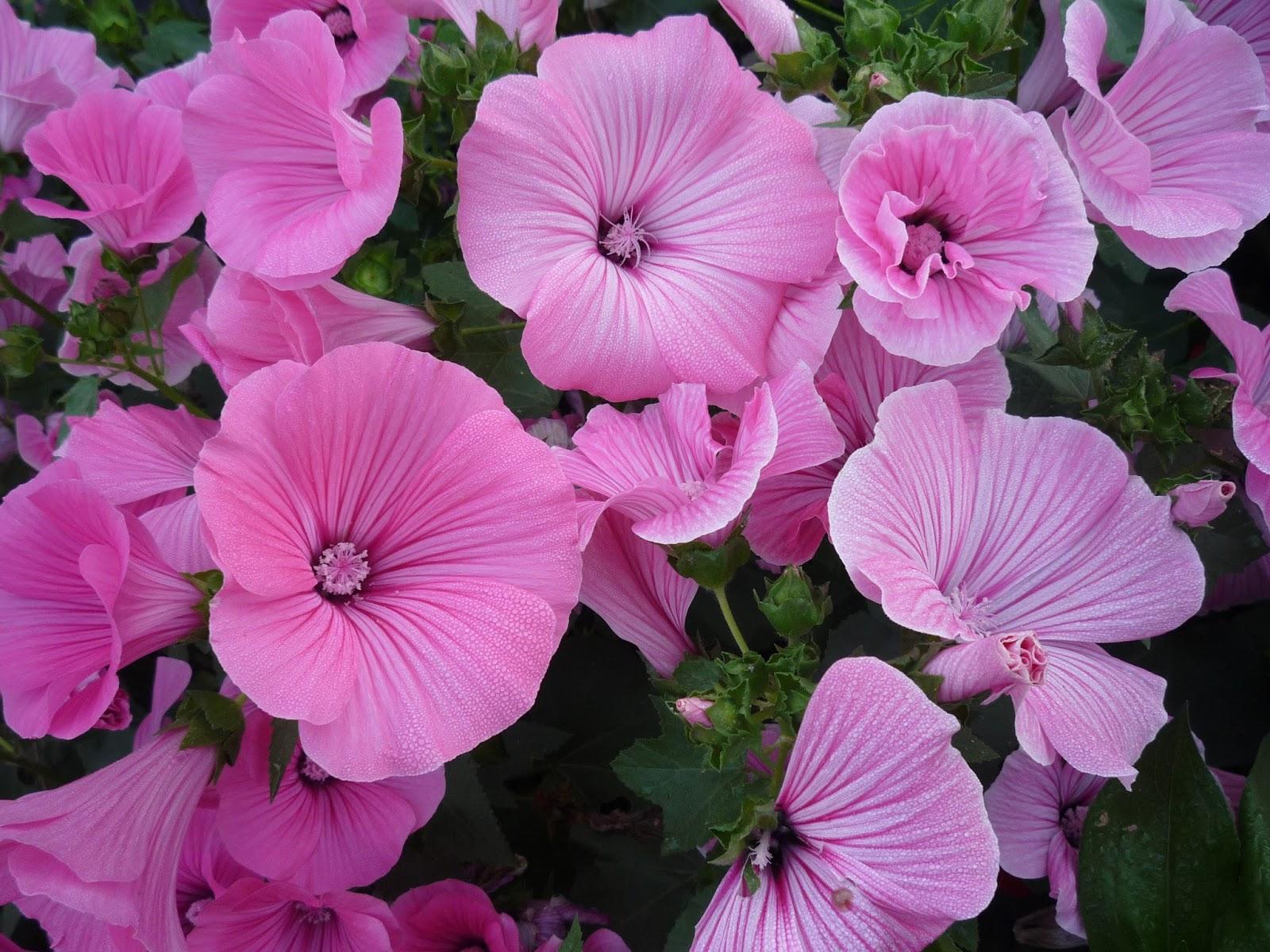 Лаватера - выращивание из семян в открытый грунт или на