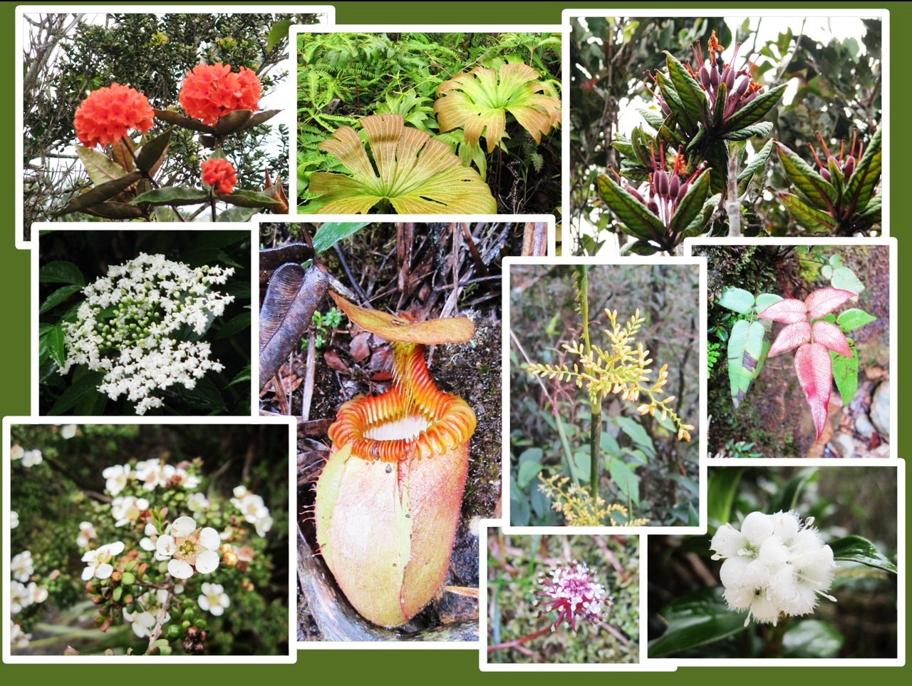 The flora of Mt. Kinabalu, mt kinabalu plants, mt kinabalu flowers, mt kinabalu trail, mt kinabalu itinerary, kota kinabalu plants