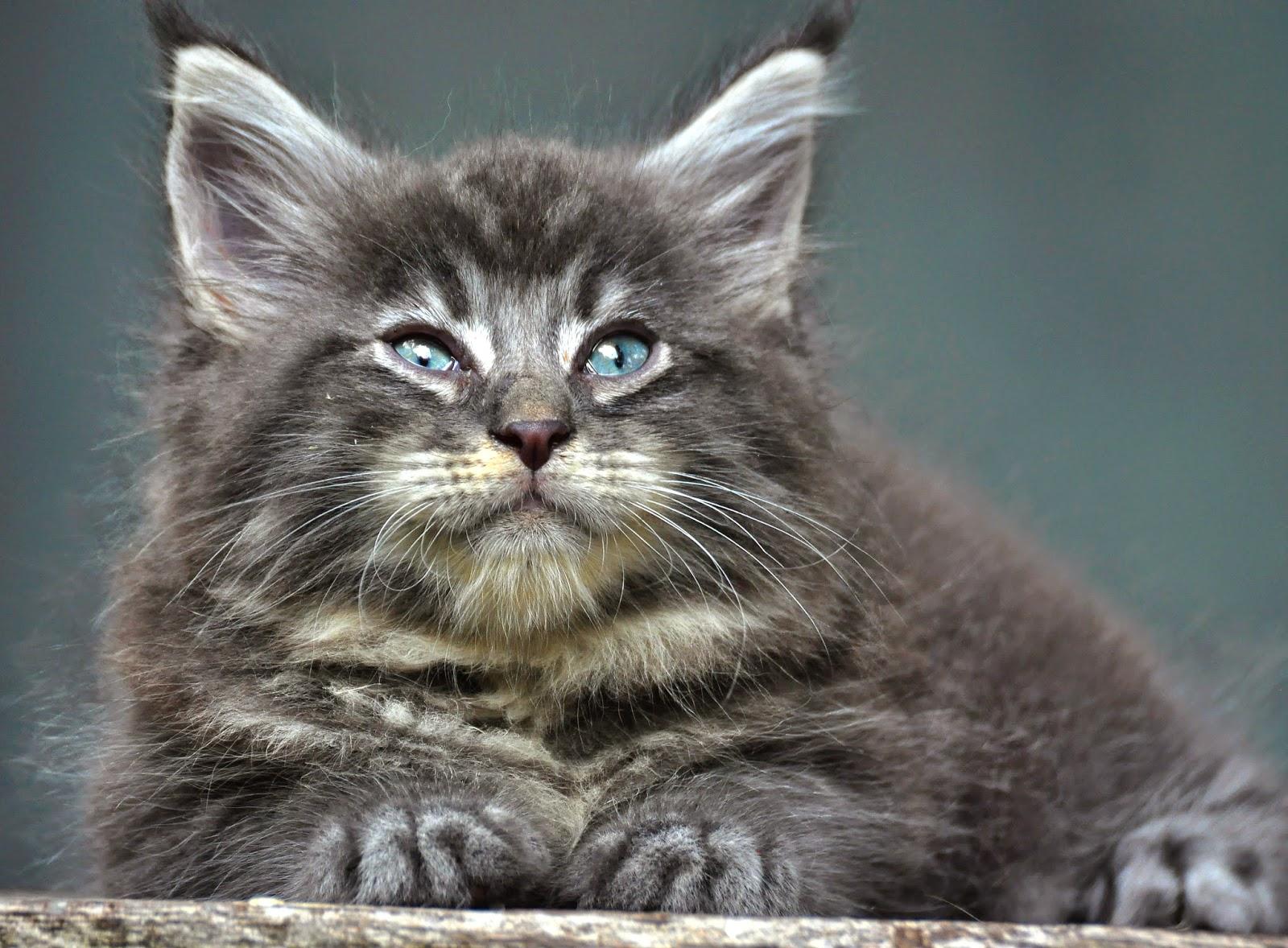 Cara Menentukan Kwalitas Kucing Maine Coon Sukses