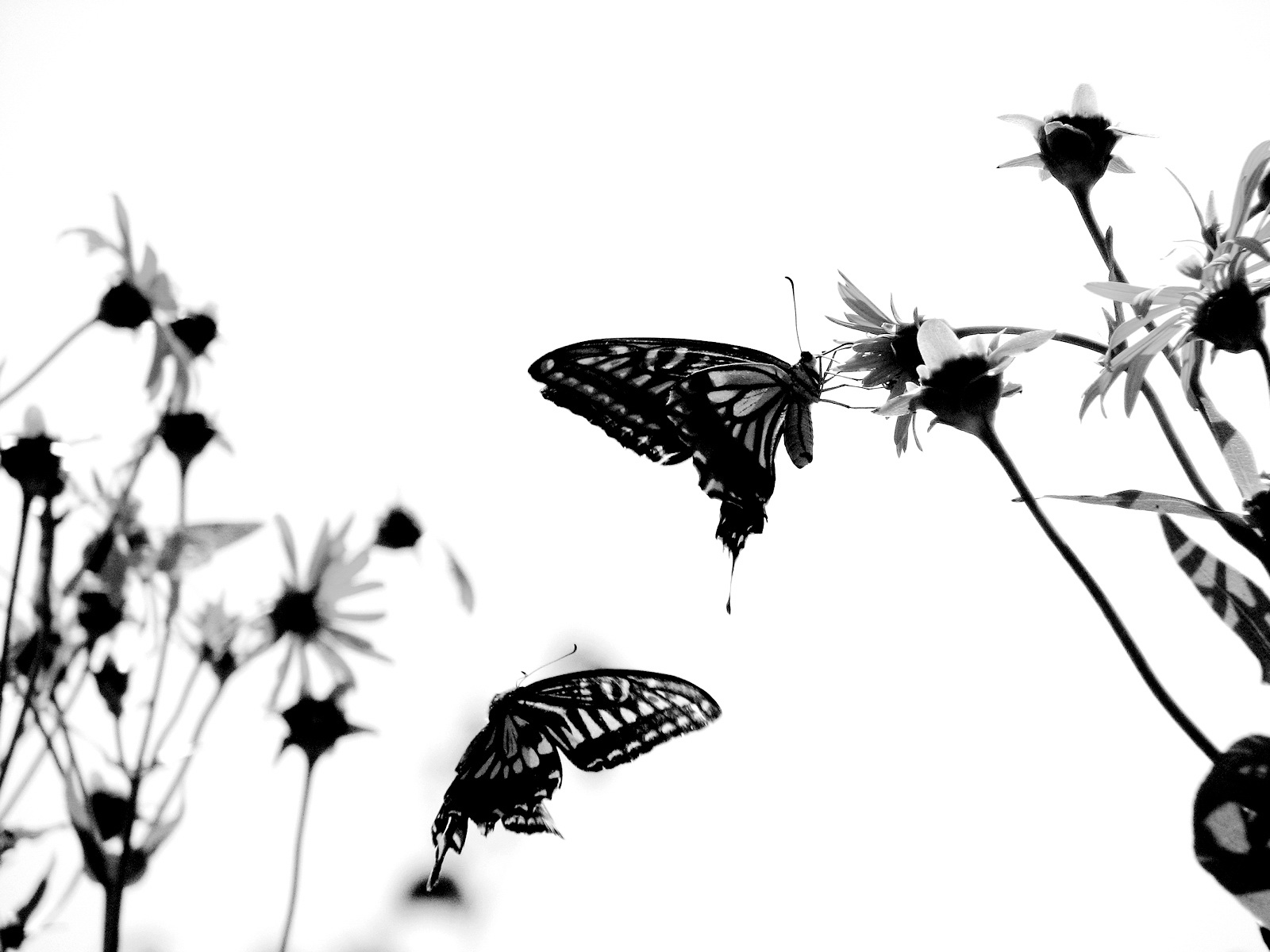 butterfly wallpaper