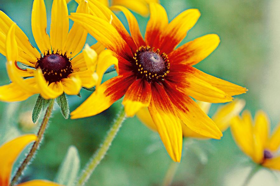 Black Eyed Susan flower  FLOWERS WORLD