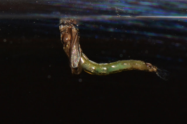 Chironomid midge pupa about to hatch