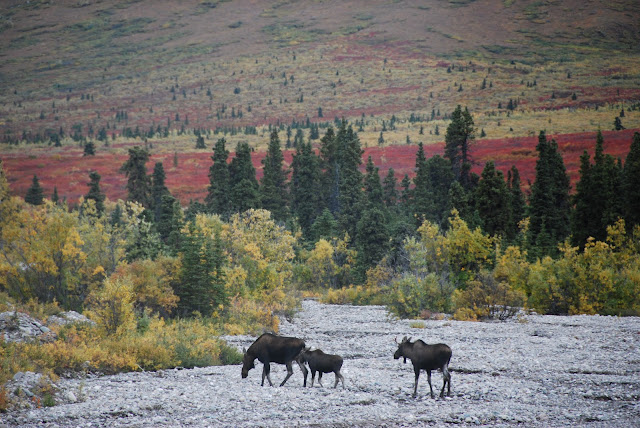 Moose in Denali