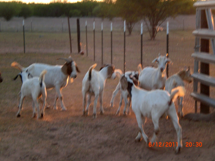 Our Goat Herd