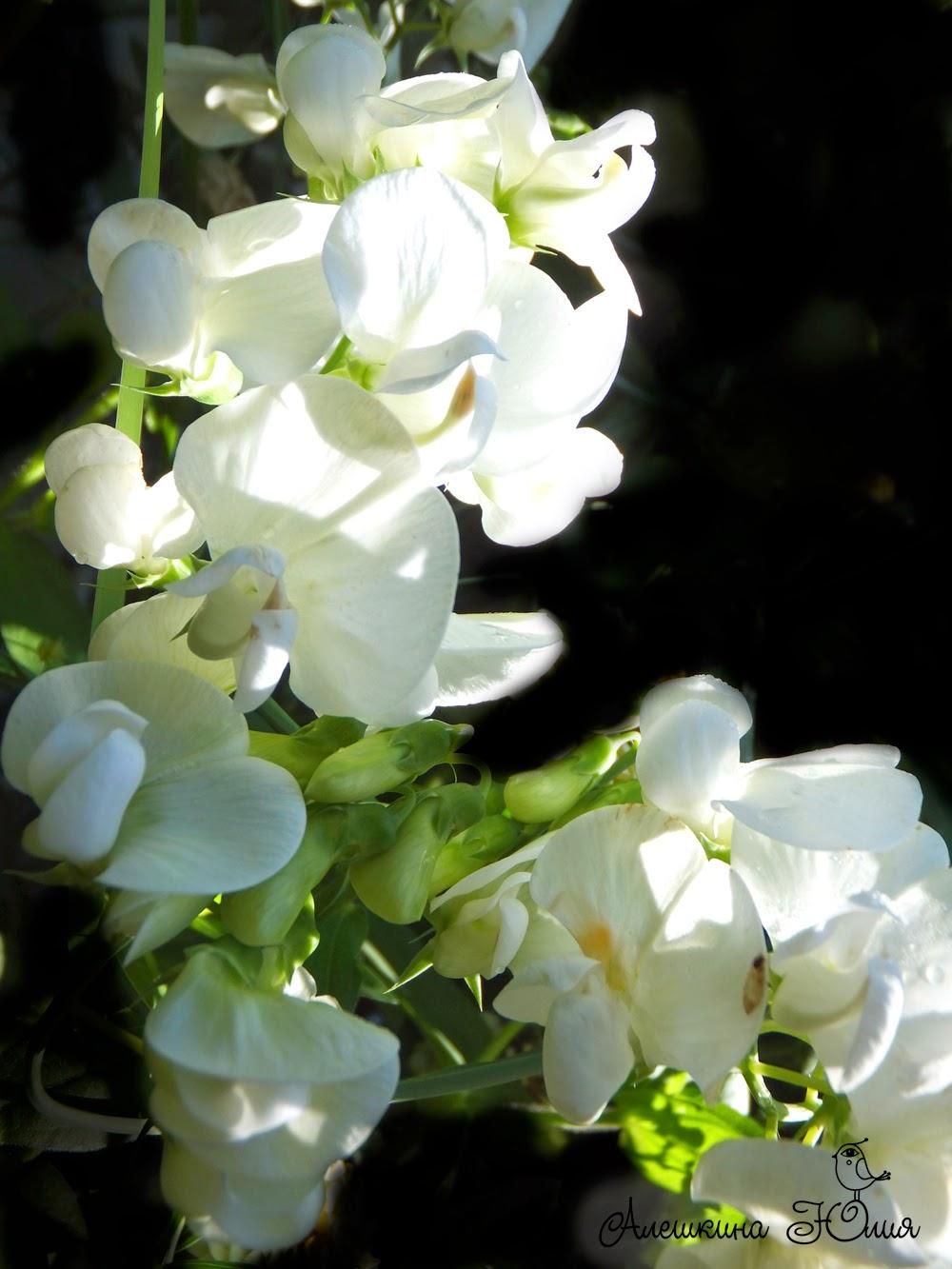 Белый душистый горошек