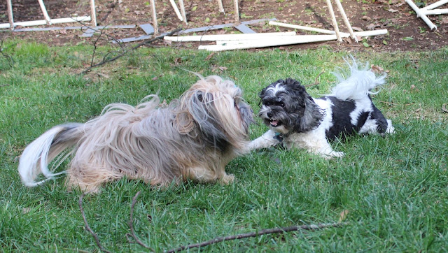Fluffy dogs playing in backyard
