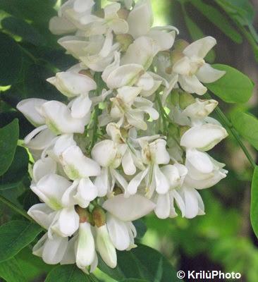 nel mondo di krilu 39 robinie in fiore