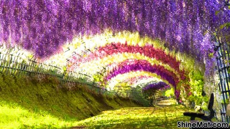 Wisteria Tunnel, Kawachi Fuji Garden, Japan