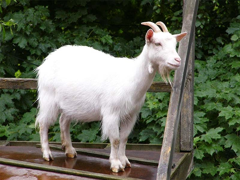 فوائد حليب الماعز للصحة