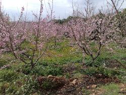 Ağaçlar da çiçek açar
