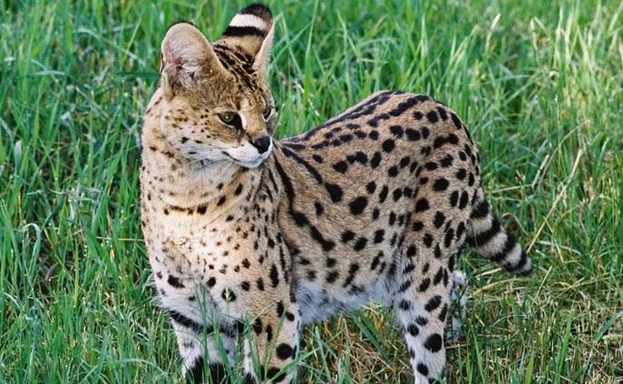 Kucing Paling Langka Di Dunia Kumpulan Berita Unik