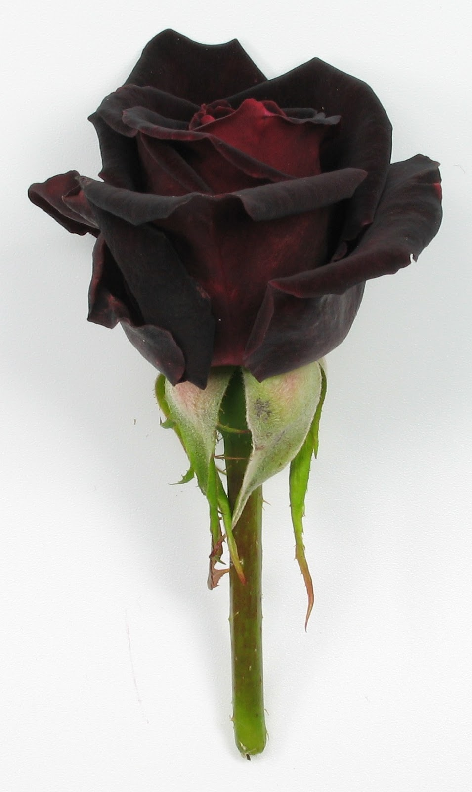 A treasured occasion the color of roses part 2 for How to make black roses