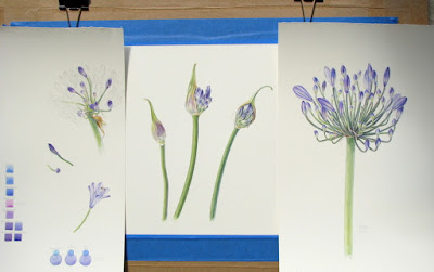 Agapanthus studies, Shevaun Doherty, botanical painting