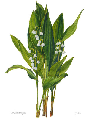 Lily-of-the-valley flowers botanical art