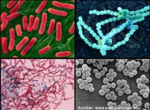 bakteri dan ciri-cirinya