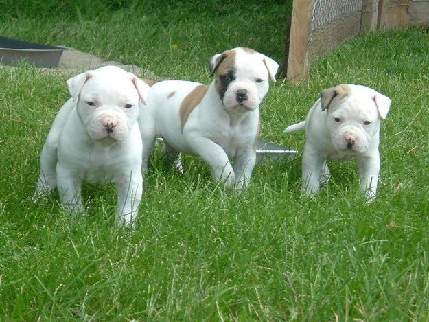 American bulldog puppies pictures,free stock images,stock free images ...