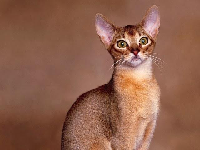 5 Jenis Kucing Paling Pintar Di Dunia