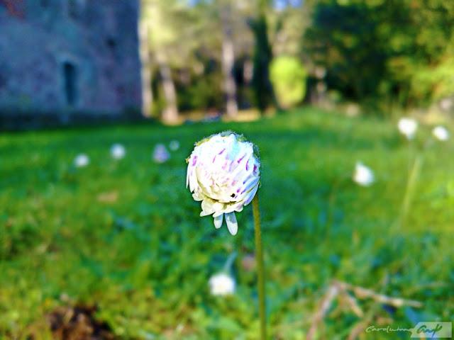 capullo flor margarita