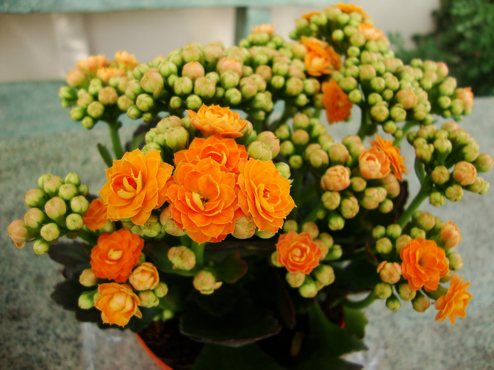 Wiese Acres: Kalanchoe plants