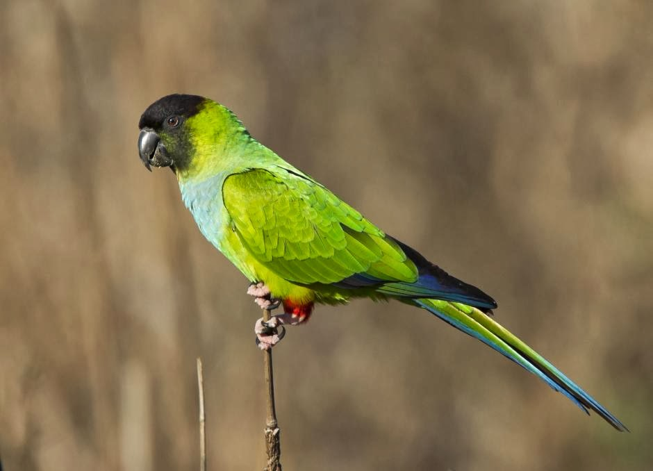 Nandy parakeet Aratinga nenday
