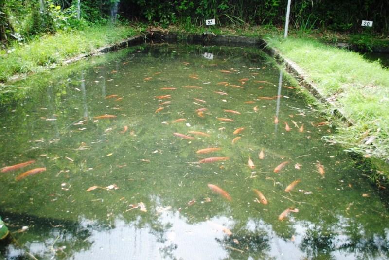 Centro acu cola y agroindustrial de gaira regional for Peces para criar en estanques