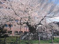 春満開の石割り桜、大正12年国の天然記念物に指定された。