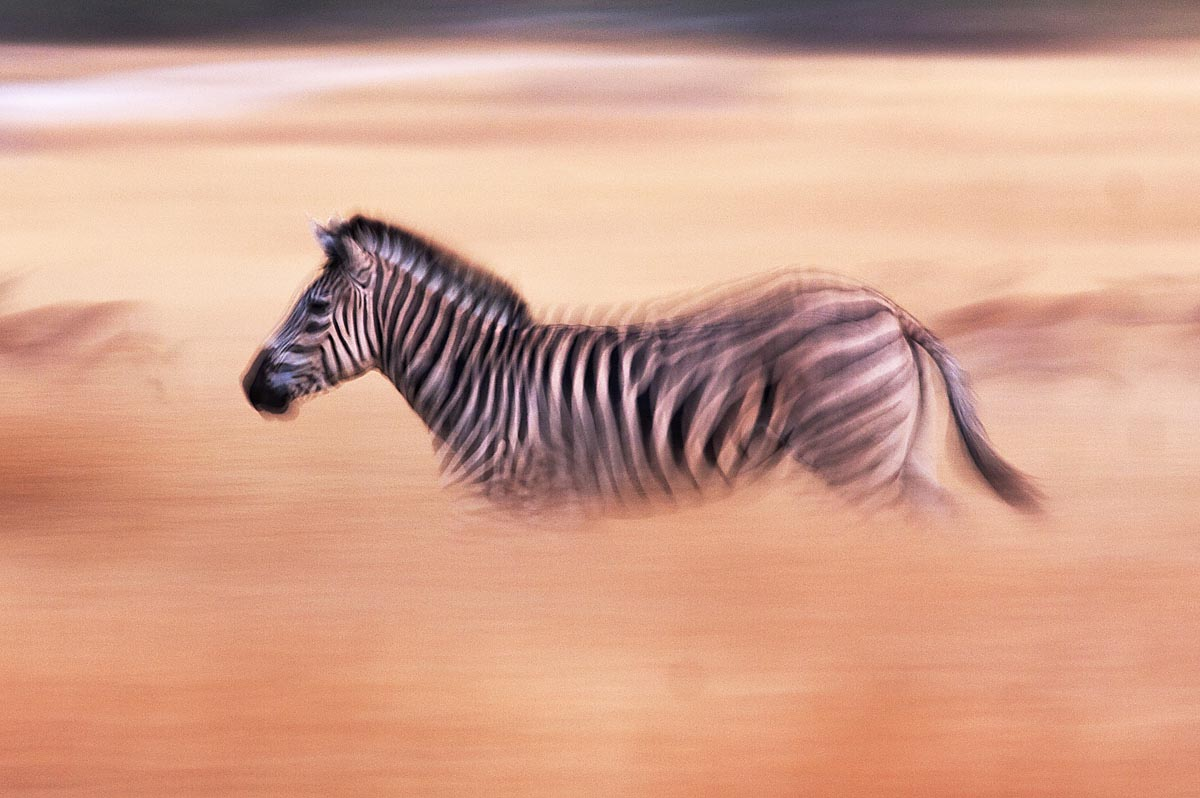 amazing african animals amazing african zebras with white stripes