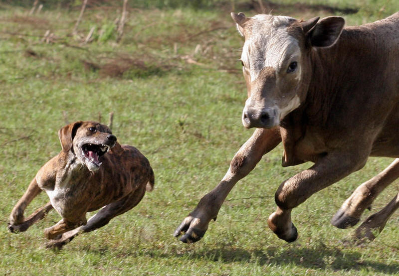 how to stop dogs from chasing cows