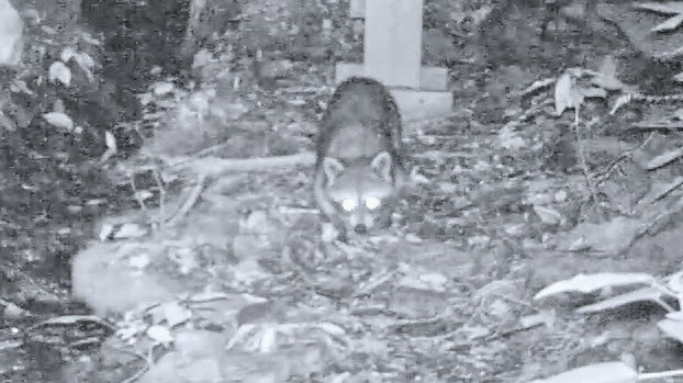 Raccoon Knocks Over Trail Camera