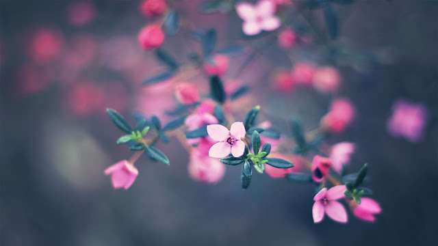 Pink Petals Flowers