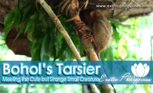Bohols Tarsier – Meeting the Cute but Strange Small Creature